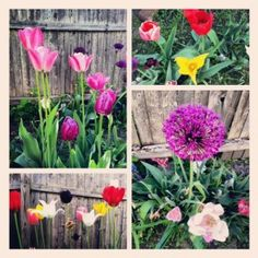 Allium, Daffodils, Tulips and more! Daffodils, Tulips, Landscape Design, Garden Design, American Meadows, Spring Blooms, Allium, Wind Chimes, Beautiful Flowers