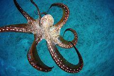 http://i.livescience.com/images/i/000/070/615/i02/wild-octopus.jpeg?1412011759