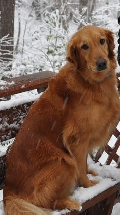 This is Ginger a senior girl. She is an owner surrender due to lack of time. She is spayed, current on vaccinations, potty trained, has good house manners, rides well in a car, walks well on leash, knows basic commands & is good with dogs, cats & kids. She is a sweet, gentle girl & is at Golden Retriever Rescue of Atlanta, GA.  http://www.petfinder.com/petdetail/28173931/