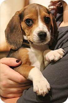 Cute Beagle Puppies Beagle Puppy Cute Beagles Beagle Dog