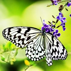 Delicious  Idea leuconoe clara Butterfly by mingtaphotography, $30.00