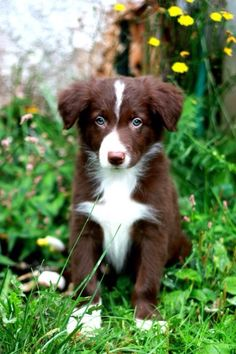Astro the Red and white border collie