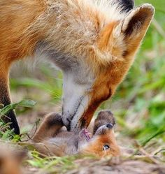 Red fox cub playing with mom