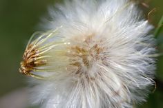 Coltsfoot004
