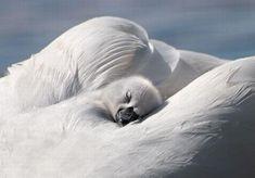 Aww, baby swan resting on momma Love Birds, Beautiful Birds, Animals Beautiful, Beautiful Swan, Animals And Pets, Baby Animals, Cute Animals, Cygnus Olor, Baby Swan
