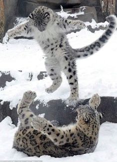 Snow Leopards......Uploaded By www.1stand2ndtimearound.etsy.com