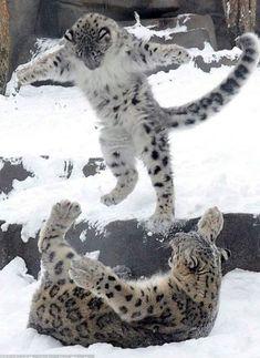 Snow Leopards......Uploaded By www.1stand2ndtimearound.etsy.com
