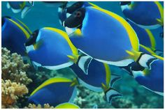 This is the coolest looking fish! Powder Blue Tangs.
