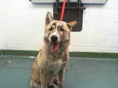 I am an unaltered male, white and brown brindle German Shepherd Dog mix.  The shelter staff think I am about 1 year old  I have been at the shelter since Oct 02, 2014.For more information about this animal, call: Miami-Dade Animal Servicesat(305) 884-1101 Ask for information about animal ID number A1649059