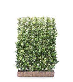 Fast Growing Evergreens, Fast Growing Plants, Fruit Trees, Trees To Plant, Trachelospermum Jasminoides, Flower Hedge, Jasmine Star, Fence Options, Garden Screening