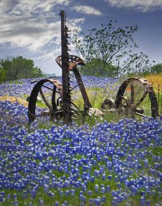 Bluebonnets On The Farm Photograph  - Bluebonnets On The Farm Fine Art Print