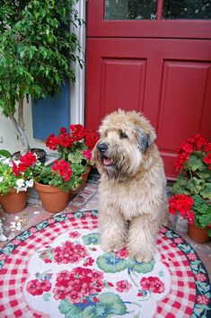 Welcome to my little kitchen garden. The red geraniums are in full bloom and Bentley and I would love to take you on a little tour to look ...