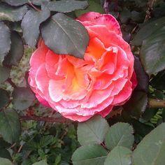 Le rose di Nonna Papera #rose #rosa  #flower #fiore #parfume #bellezza #instaitaly_photo #instaitalia #natura #naturelovers #natural  #flowerstagram #floweroftheday #relax #estate #giardino  #garden