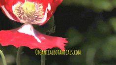 BUY Somniferum Poppy SEEDS at:  https://www.organicalbotanicals.com