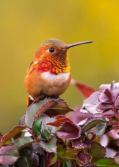 Rufous Hummingbird by Monique Dao