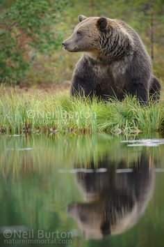 Brown bear relaxes - OK another bear, then I will find something else to process ;)