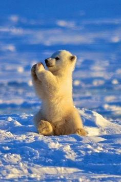 This baby polar bear is happy and he knows it adorables funny graciosos hermosos salvajes tatuajes animales Animals And Pets, Funny Animals, Animals In Snow, Baby Wild Animals, Baby Foxes, Save Animals, Animals Images, Nature Animals, Baby Polar Bears