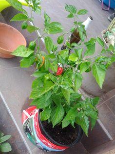 Red habanero - my bd present