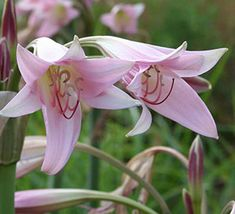 This Pink crinum lily survives and multiplies year after year and blooms prolifically on three to four foot scapes. On top of each scape are numerous pink lily shaped flowers from spring throughout the middle of summer. The robust foliage of this crinum adds a nice effect to any garden.