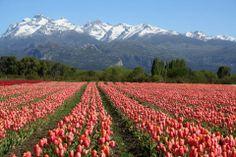 R- Plantación de Tulipanes en el Sur Argentino.