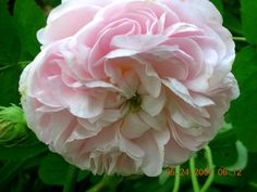 """""""Félicité Parmentier dating back to 1834. This is the palest, delicate pink Alba Rose. The stamen has an apple green hue."""" 