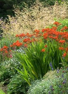Summer border with Crocosmia 'Lucifer' and Stipa gigantea in July - Image No: 0073122 - GAP Gardens, garden and plant stock photography Garden Shrubs, Beautiful Gardens, Crocosmia, Garden Borders, Sensory Garden, Ornamental Grasses, Plants, Planting Flowers, Garden Inspiration
