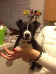 Minnie is an adoptable Pit Bull Terrier Dog in Indianapolis, IN. Hello, my name is Minnie. I'm a young puppy around 10 weeks old. I've been told I'm a very laid back and a super sweet cuddle buddy. Al...