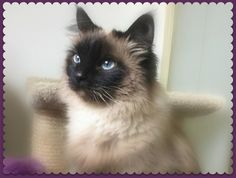 Sunshine is a beautiful, 4-year-old, blue-eyed Seal Point Himalayan kitty    Contact Melba with any questions; you may reach her via th...