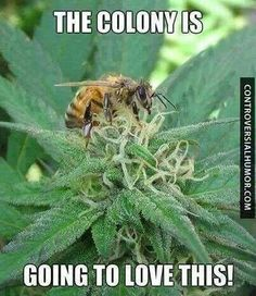 STRANGE bee on a Cannabis flower. Those flower don't produce nectar since they don't rely on insects to be pollinated This little one probably only wanted to smell the flower :-) Too bad Cannabis Honey cold be interesting! Marijuana Leaves, Marijuana Plants, Endocannabinoid System, Weed Humor, Weed Jokes, Stoner Humor, Puff And Pass, Up In Smoke, Medical Cannabis