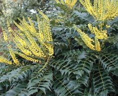 Garden Shrubs to Grow as Shade Plants Most gardens have shaded areas created by buildings, walls, fences or tall trees. Too often these areas contain a few sad looking plants quite unsuitable for the conditions. Tall Shade Plants, Shade Shrubs, Garden Nursery, Plant Nursery, Garden Shrubs, Shade Garden, Garden Trees, Gravel Garden, Garden Benches