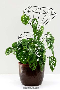 you Prune or Stake the Trailing Vines of your Monstera adansonii or Swiss Che. Do you Prune or Stake the Trailing Vines of your Monstera adansonii or Swiss Cheese Vine plant. Monstera Obliqua, New Vines, Mother Plant, Spider Plants, Bathroom Plants, Foliage Plants, Sun Plants, Flower Plants, Garden Plants