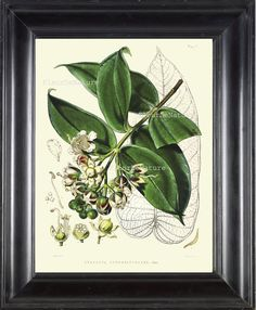 BOTANICAL PRINT Fitch 8x10 Botanical Art Print 11 Beautiful Antique White Flower Chart Plant Seeds Petals Tree Branch Leaves Garden