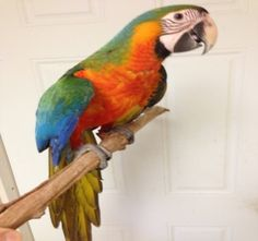 Catalina Macaw baby for sale, TheBestBird.com Birds For Sale, Bird Aviary, Parrot Bird, Conure, Tropical Birds, Cockatoo, Cool Pets, Parrots, Scarlet