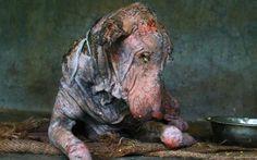 Deze zieke hond werd door de Indische organisatie Animal Aid Unlimited gevonden aan de kant van de weg. Hij leed aan schurft en had duidelijk al lang geen contact meer met mensen. Na een intensieve verzorging van twee maanden is het beestje weer bijna helemaal de oude.