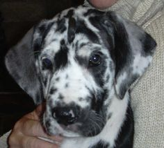 Harlequin Great Dane puppy, ❤ I want this kind of dog!