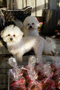 Bichon Frise the best breed of dog in the world! Loyal, Friendly, Cute, Smart and a wonderful family member