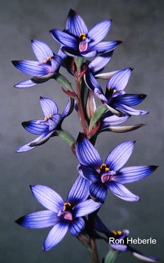 Blue Sun-orchid: Thelymitra canaliculata – Western Australian Native Orchid Study and Conservation Group – Orchidee Rare Flowers, Exotic Flowers, Purple Flowers, Beautiful Flowers, Yellow Roses, Pink Roses, Blue Orchids, Orchid Flowers, Tropical Flowers