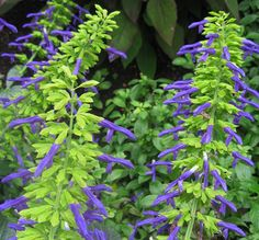 Salvia mexicana 'Limelight'  One of the most beautiful of all Sages, this Salvia bears a great abundance of vivid, royal blue flowers protruding from showy lime green ca...