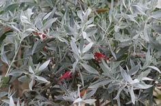 Eremophila Galbraith 'Norseman' Small Shrubs, Garden Plants, Flora, Plants