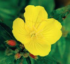 Pupalka missurská Night Blooming Flowers, Night Flowers, Summer Flowers, Colorful Flowers, Primrose Oil, Evening Primrose, Sea Holly, Primroses, How To Attract Hummingbirds