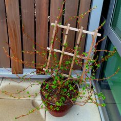 Climbing hydrangea starting to show some green on the terrace!