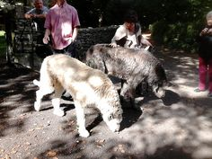 Fionn & Grainne - the two friendly Irish Wolfhounds at Bunratty Folk Park.