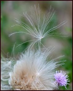 Native prairie plants and wild flowers from Saskatchewan, photographed by Canadian writer Shelley Banks. Flowers Canada, Thistle Seed, Prairie Planting, Dandelions, Wildflowers, Seeds, Plants, Plant, Dandelion
