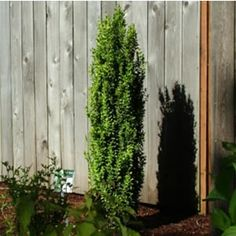 Graham Blandy Boxwood Evergreen T W. Slow to medium grower.
