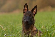 Peach Malinois | Pawshake Wildau