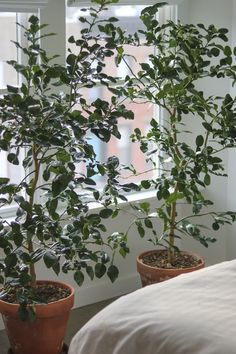 Square Garden Design 13 Things Nobody Tells You About Indoor Citrus Trees - Gardenista.Square Garden Design 13 Things Nobody Tells You About Indoor Citrus Trees - Gardenista Lemon Tree Potted, Indoor Lemon Tree, Citrus Trees, Potted Trees, Trees To Plant, Trees In Pots, Lime Trees, Home Design, Design Studio