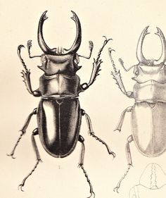 Love this sweet scarab beetle. An ode to Egypt would be relevent for my drawing project. Antique Prints, Vintage Prints, Beetle Tattoo, 1 Tattoo, Beautiful Bugs, Insect Art, Botanical Illustration, Natural History, Inktober