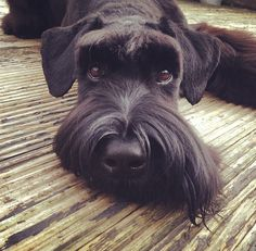 Giant Schnauzer Puppy Dog Puppies Hound Dogs miniatureschnauzerpuppies is part of Miniature schnauzer puppies - Black Schnauzer, Standard Schnauzer, Miniature Schnauzer Puppies, Giant Schnauzer, Schnauzer Puppy, Beautiful Dogs, Animals Beautiful, Cute Animals, Schnauzer Gigante