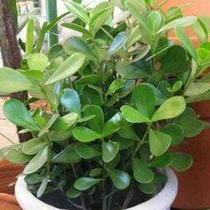 Clúsia uma planta brasileira