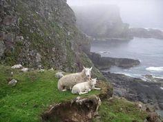 Sheep, Scottish Highlands